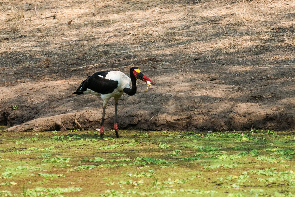 Saddlebilled Stork, Bilimungwe Lodge, South Luangwa, Zambia