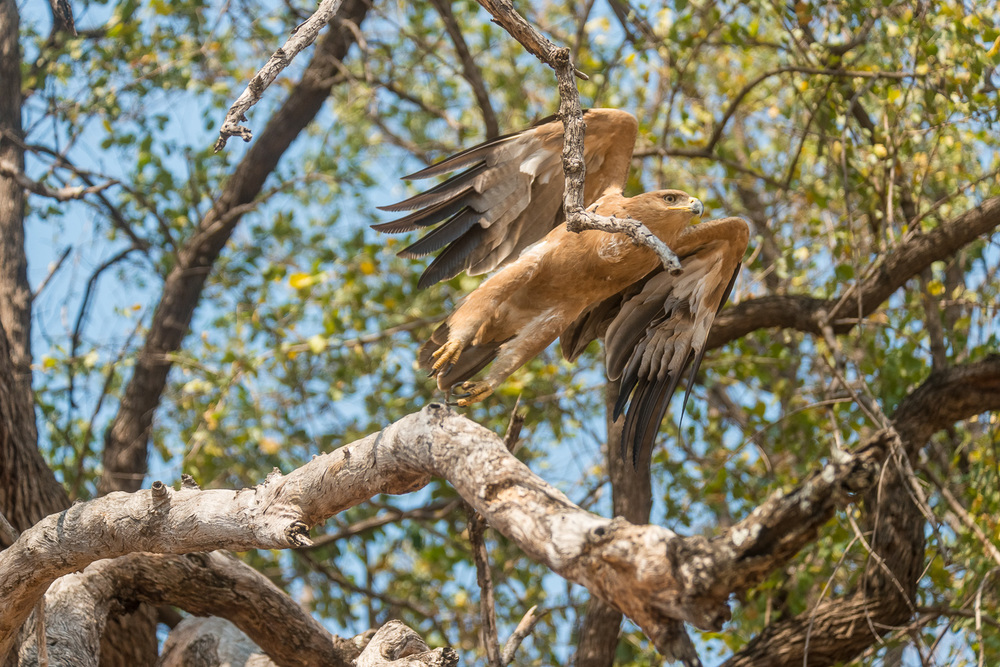 Tawny Eagle, Kuyenda Lodge, South Luangwa, Zambia