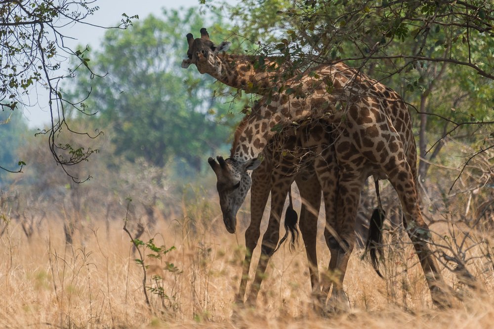 Thornicroft Giraffes, Kapamba Lodge, South Luangwa, Zambia