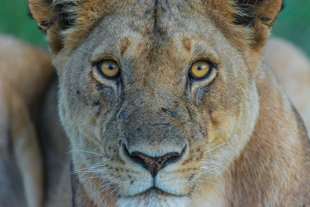 Female Lion, Serengeti