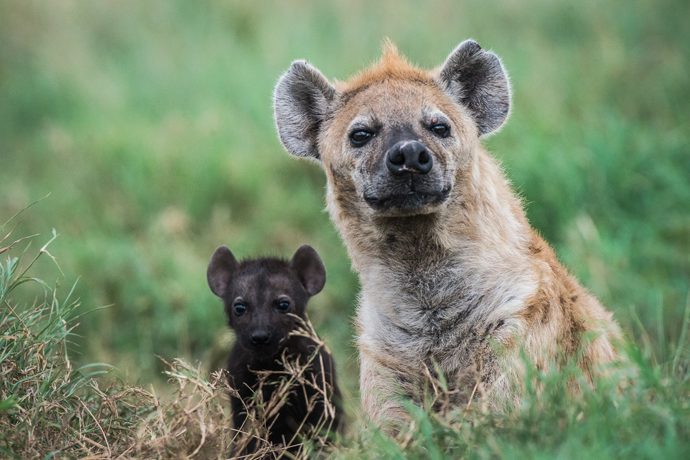 Hyena and cub, Serengeti