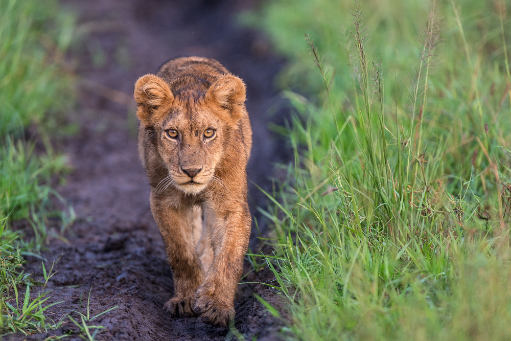 Young Lion, Serengeti
