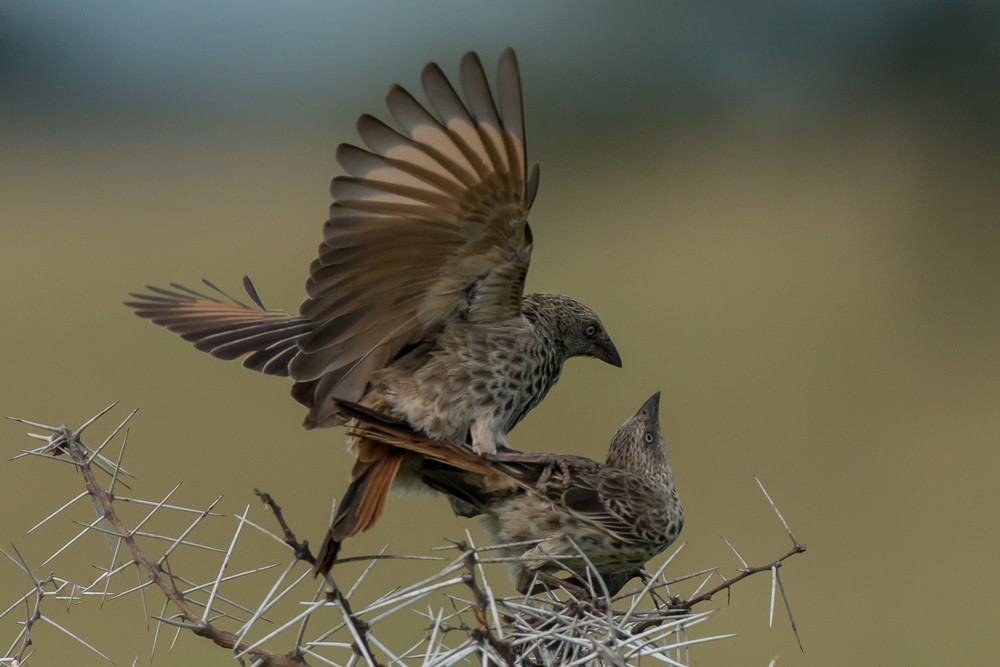 Rufous Tailed Weaver Mating, Serengeti