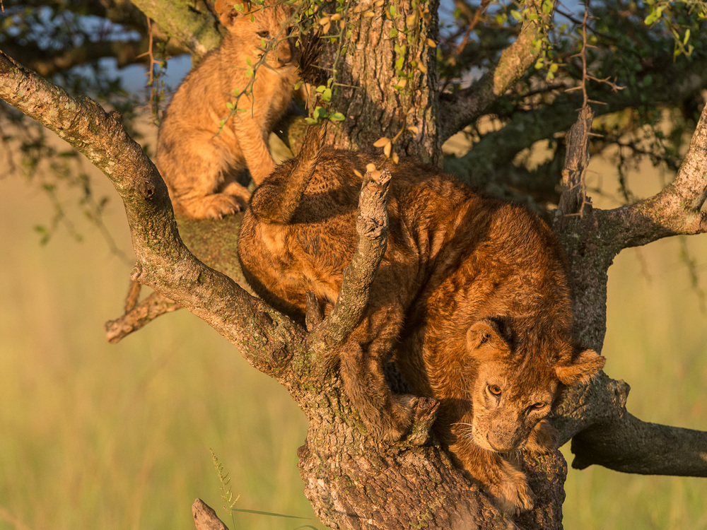 Lions in a Tree, Serengeti