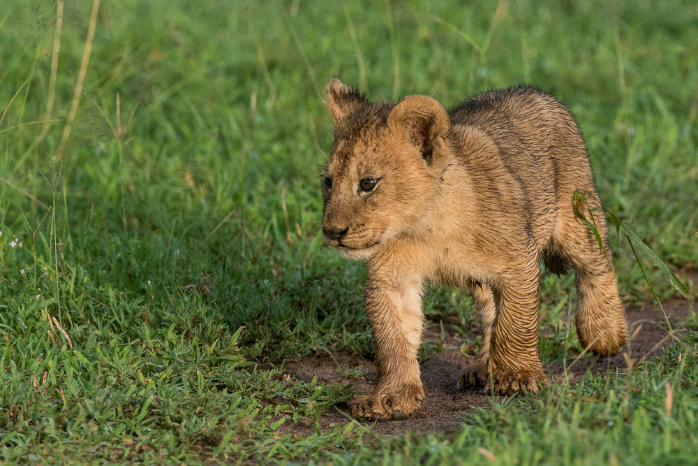 Lion Cub, Serengeti