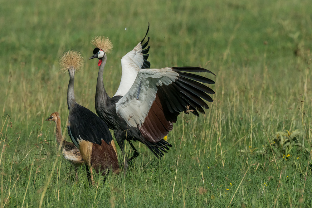 Grey Crowned Cranes, Serengeti