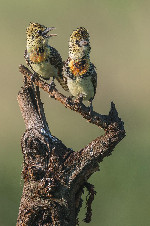 Usambiro Barbet, Serengeti