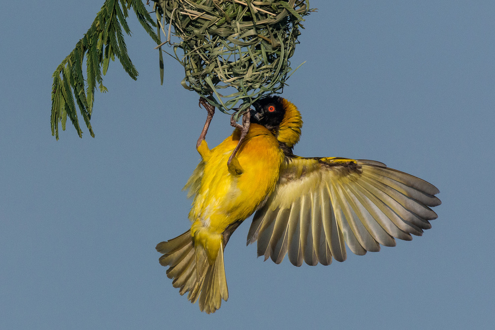 Black Headed Weaver, Serengeti