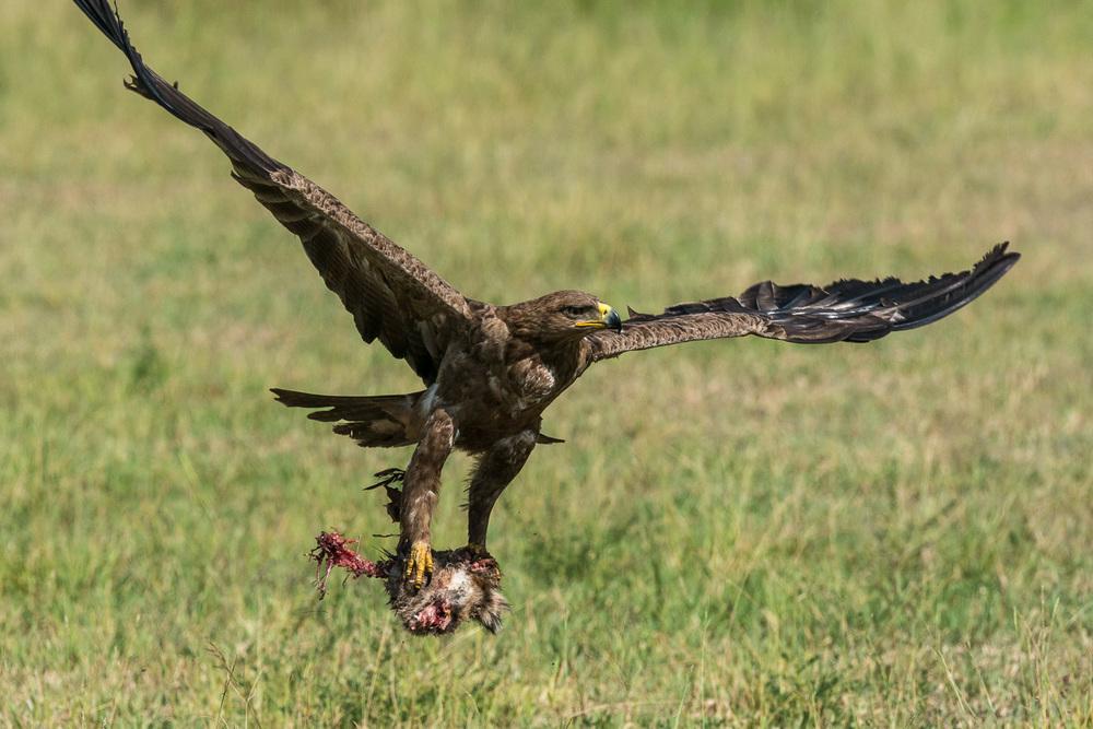 Tawny Eagle, Serengeti