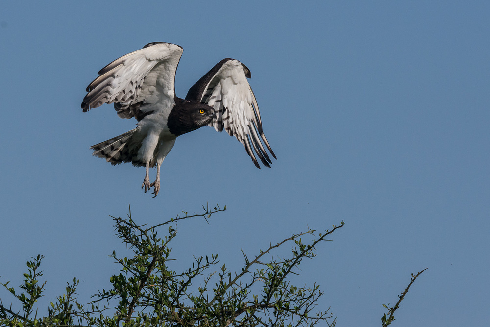 Black Chested Snake Eagle, Serengeti