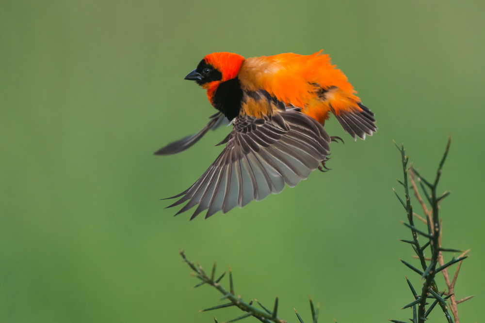 Southern Red Bishop, Serengeti