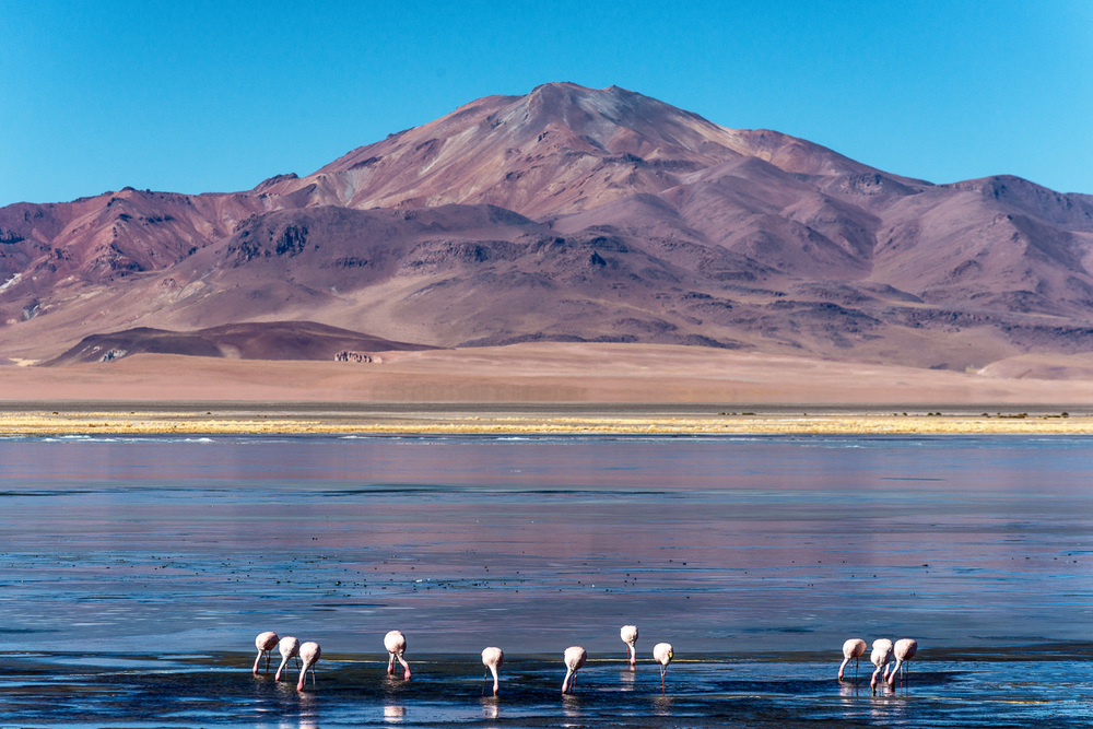 Chilean Flamingo, Salar de Tara, Chile