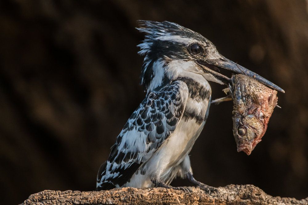 Pied kingfisher, Chobe National Park, Botswana