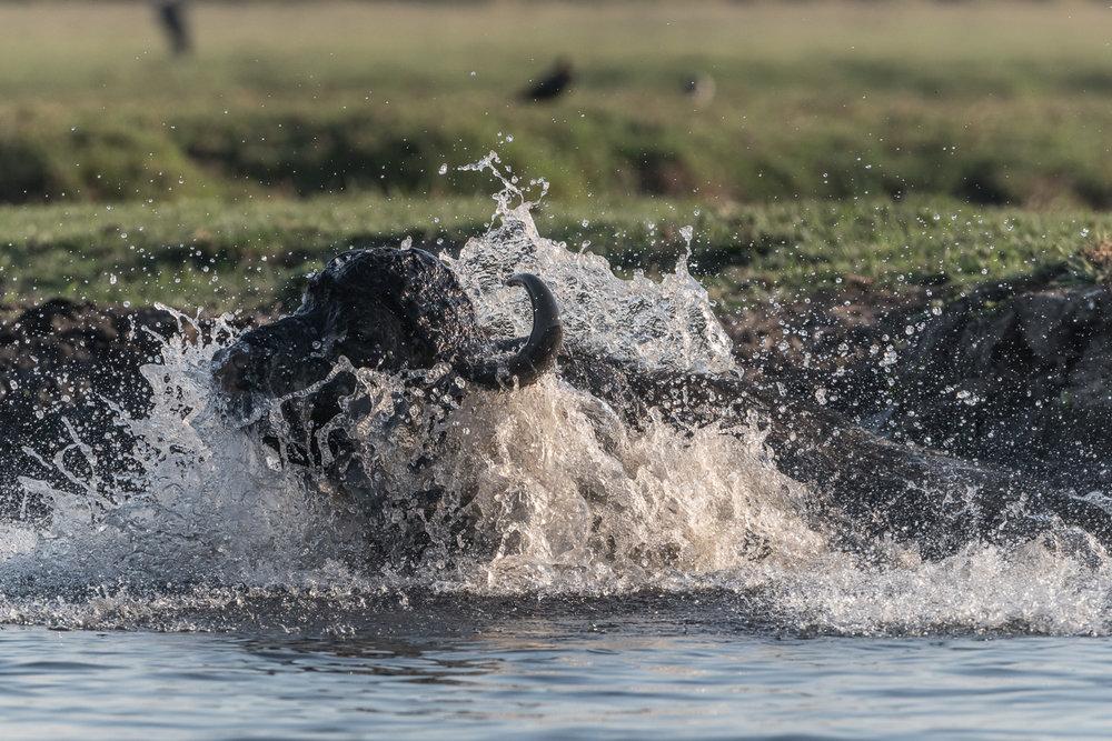 African buffalo, Chobe National Park, Botswana