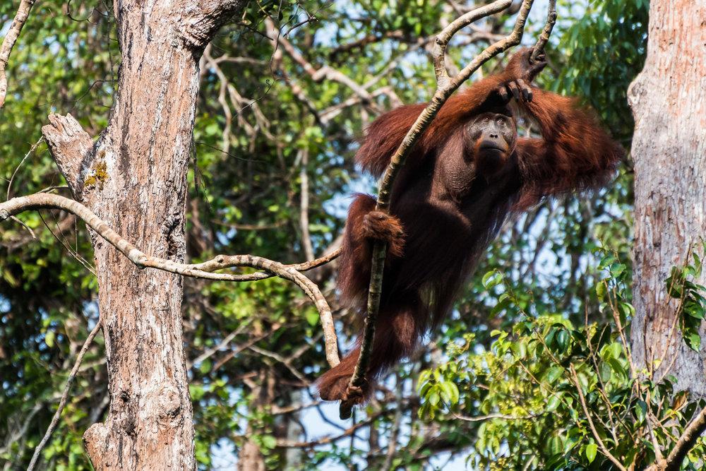Male Orangutan, Tanjung Puting National Park, Borneo, Indonesia
