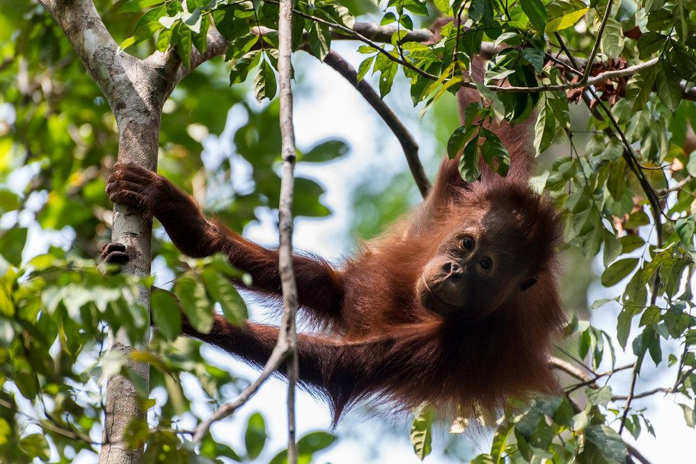 Juvenile Orangutan, Tanjung Puting National Park, Borneo, Indon