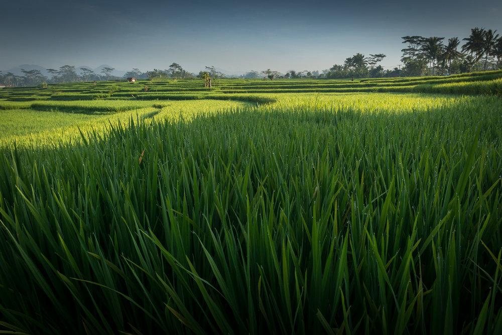 Ubud Rice Terrace, Bali, Indonesia