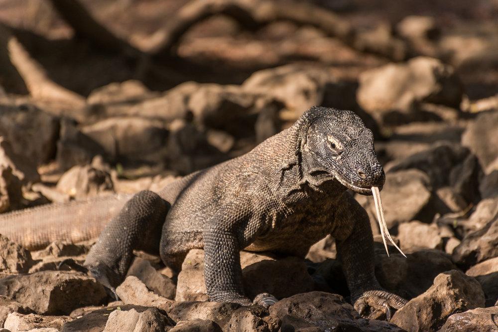 Komodo Dragon, Komodo Island, Flores Sea, Indonesia
