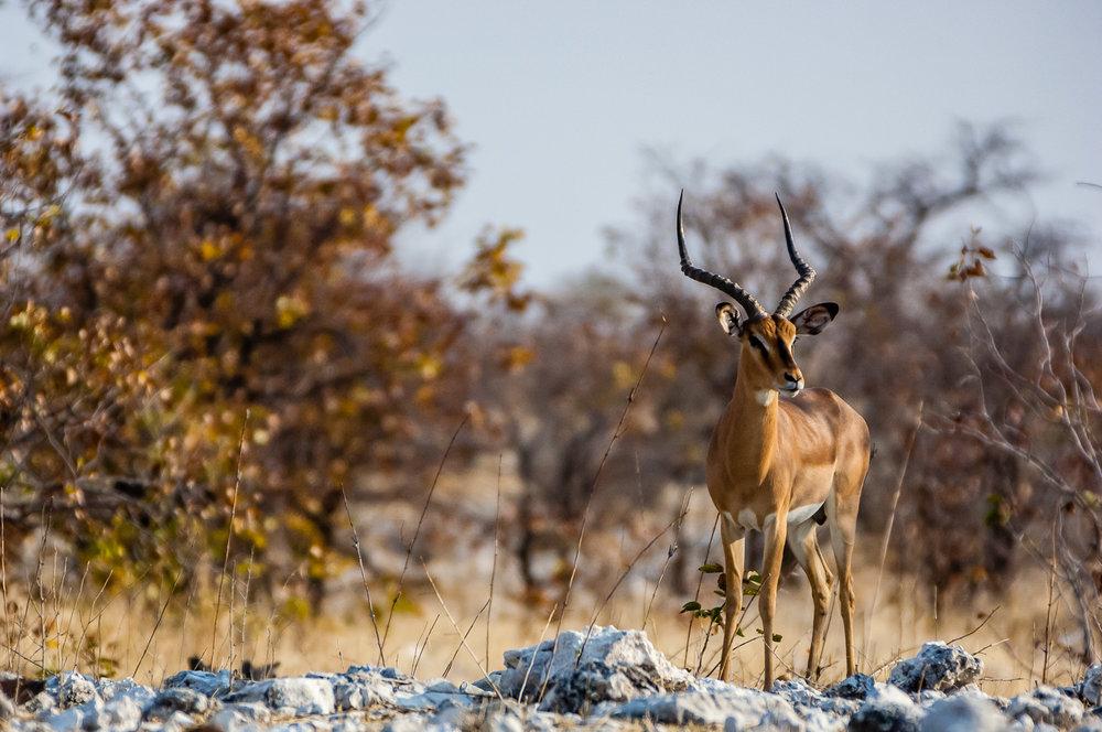 Male Black Face Impala, Etosha NP, Namibia