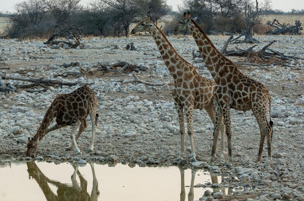 Giraffe, Okaukuejo, Etosha NP, Namibia