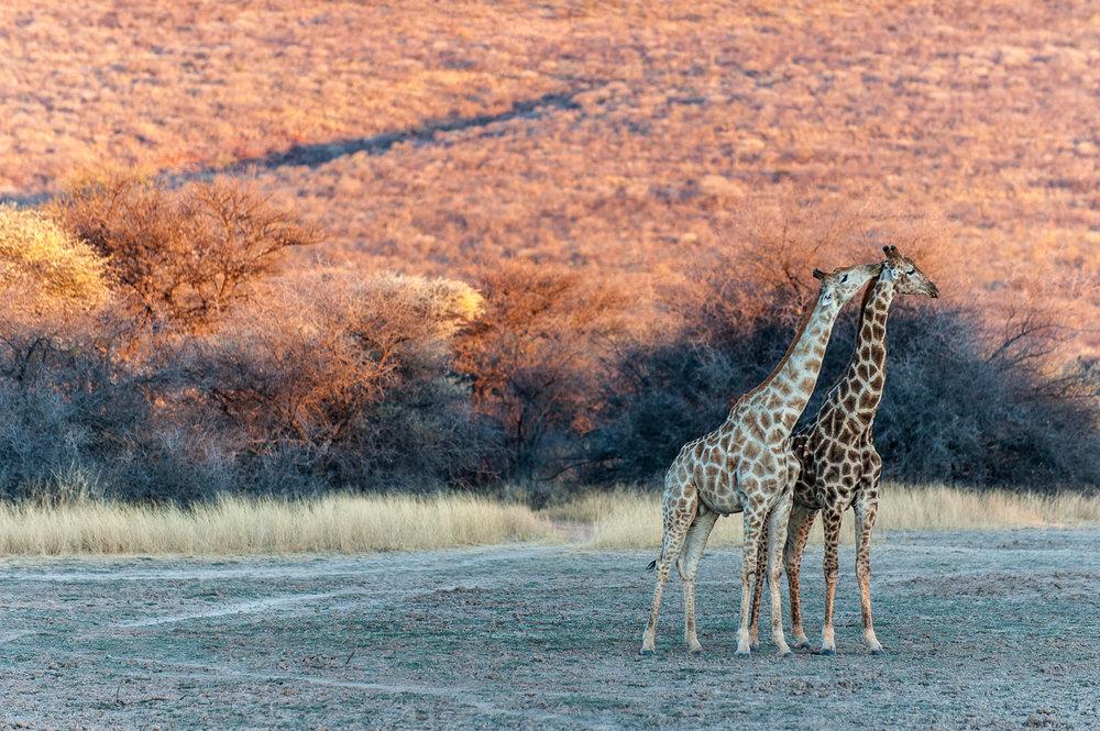 Giraffe, Okonjima, Namibia