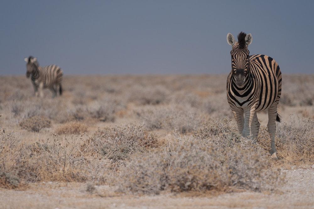 Zebras, Etosha NP, Namibia