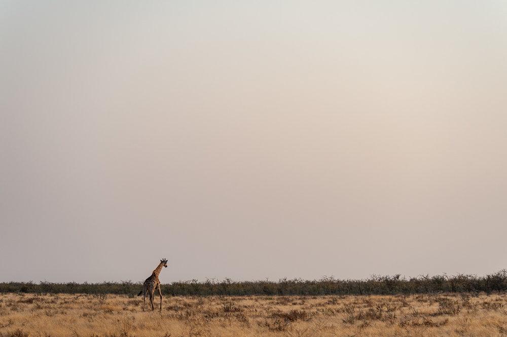 Giraffe, Etosha NP, Namibia
