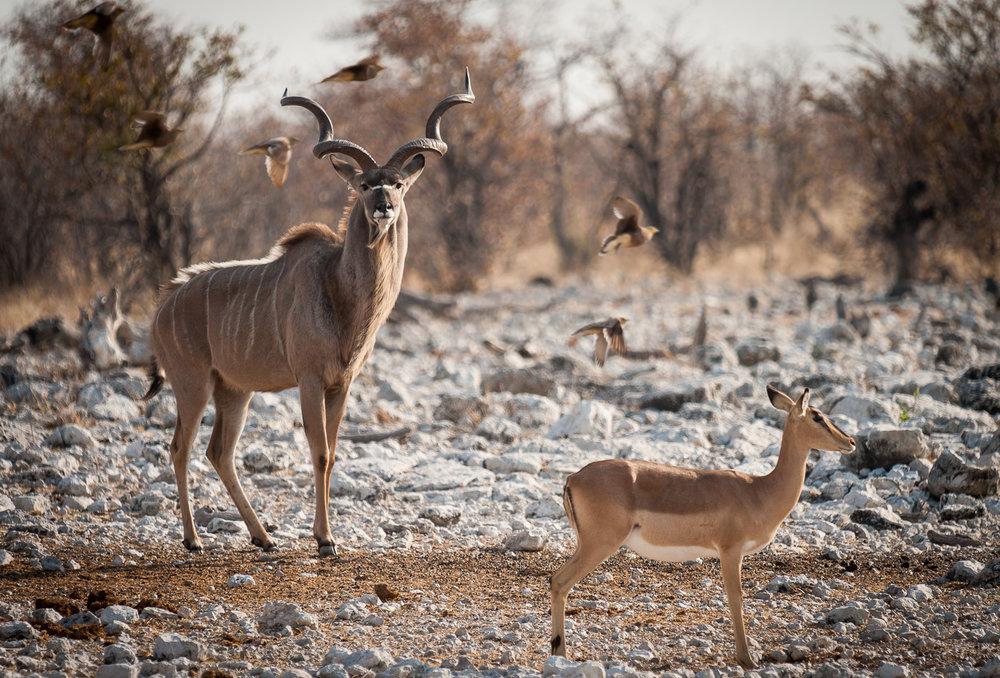 Male Kudu, Etosha NP, Namibia