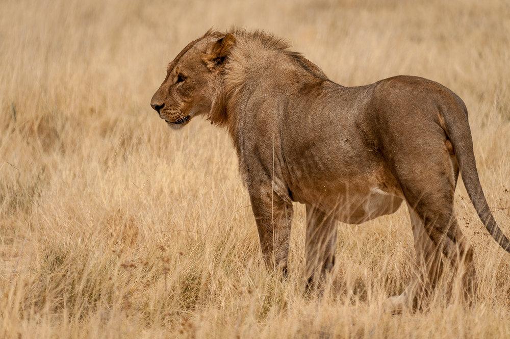 Lion, Etosha NP, Namibia