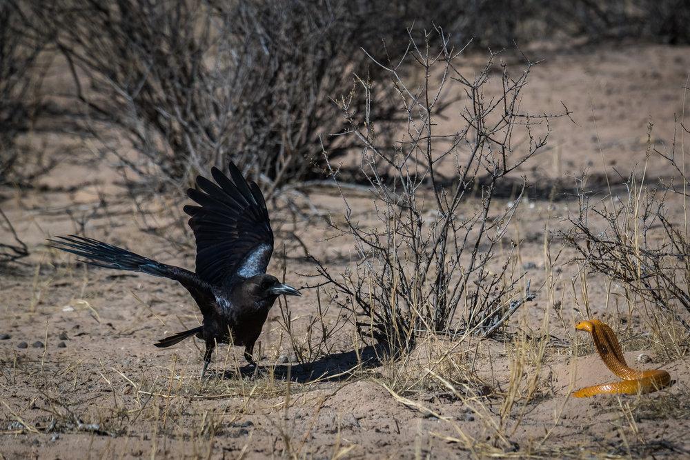 Cape Cobra & Raven, Kgalagadi Transfrontier Park, Botswana