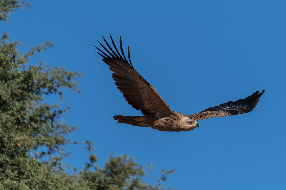 Tawny Eagle, Kgalagadi Transfrontier Park, Botswana
