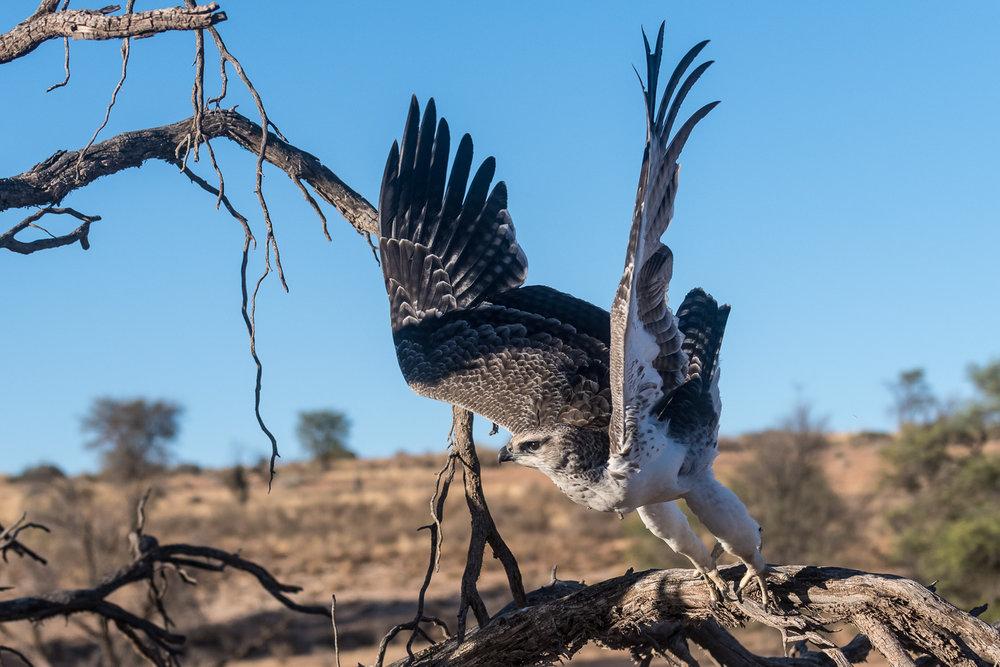 Martial Eagle, Kgalagadi Transfrontier Park, Botswana