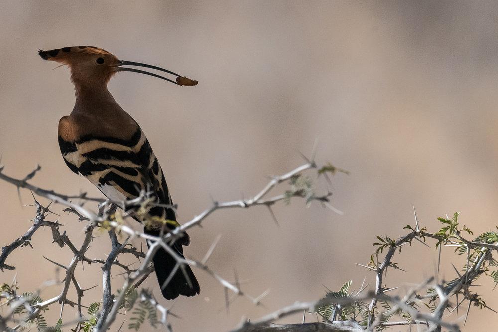 African Hoopoe, Kgalagadi Transfrontier Park, Botswana