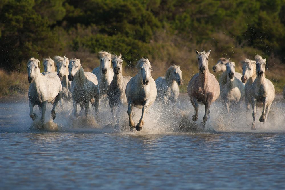 vita hästar i Camargue. Foto Patrice Aguilar