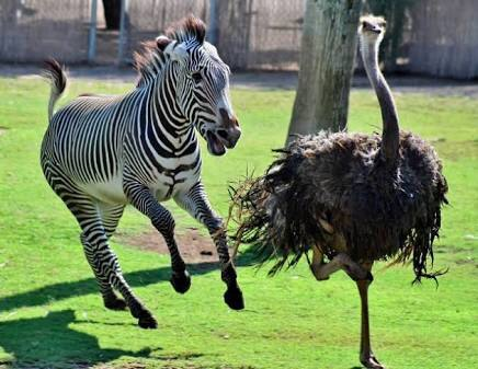 A zebra and ostrich playing at the zoo