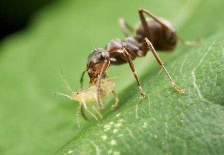 An ant carrying a tiny aphid