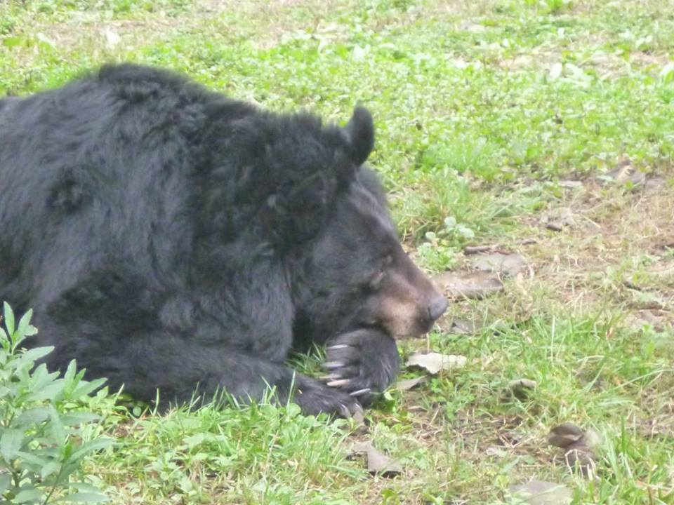 A Moon Bear gently rests her head after a big morning foraging around her enclosure.