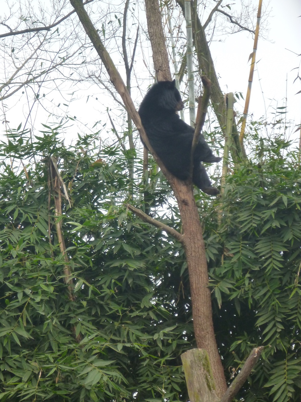 Wang cai loves to hang out in the trees at the centre!