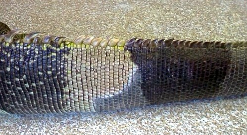 The colour change is very obvious in most reptiles with tail necrosis, Image from LafeberVet