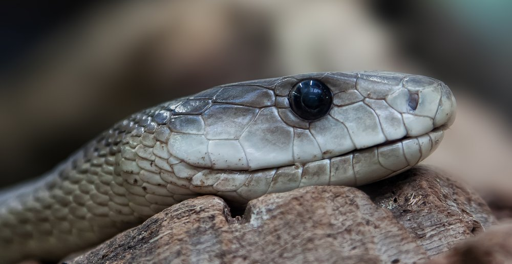 One of the ways to correctly identify a snake is counting the scales on its head... but I would advise you do not get close enough to do that!