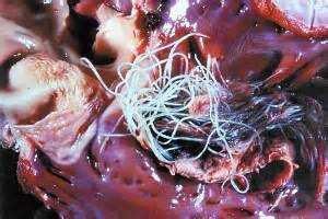 Adult worms can lodge in the vessels of the heart causing fatal blockages.