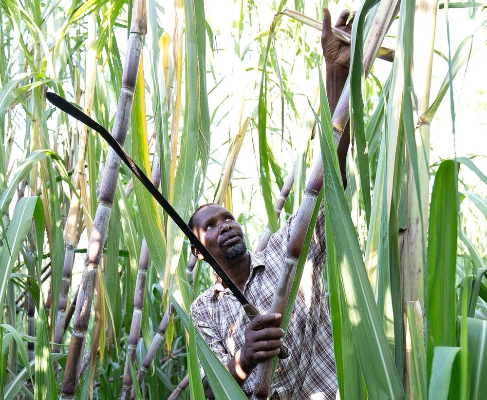 Peter harvesting sugar cane.