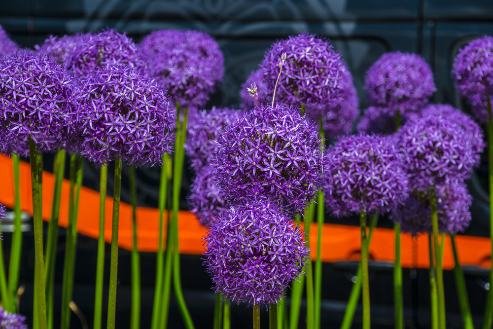Alium Orange Stripe.jpg