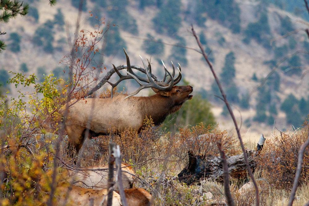 bull elk-7882.jpg