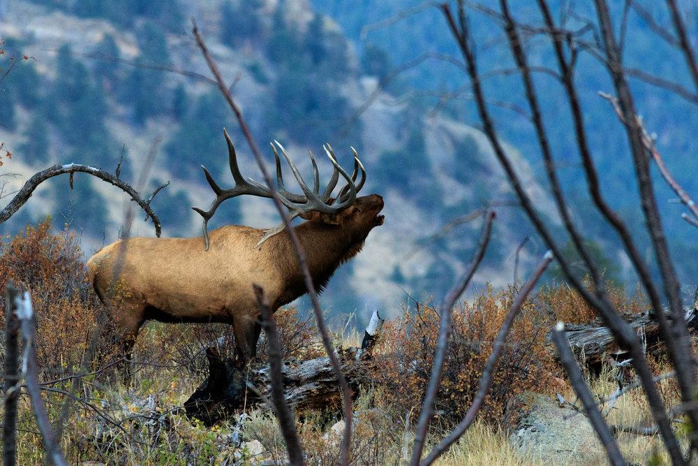 bull elk-8041.jpg