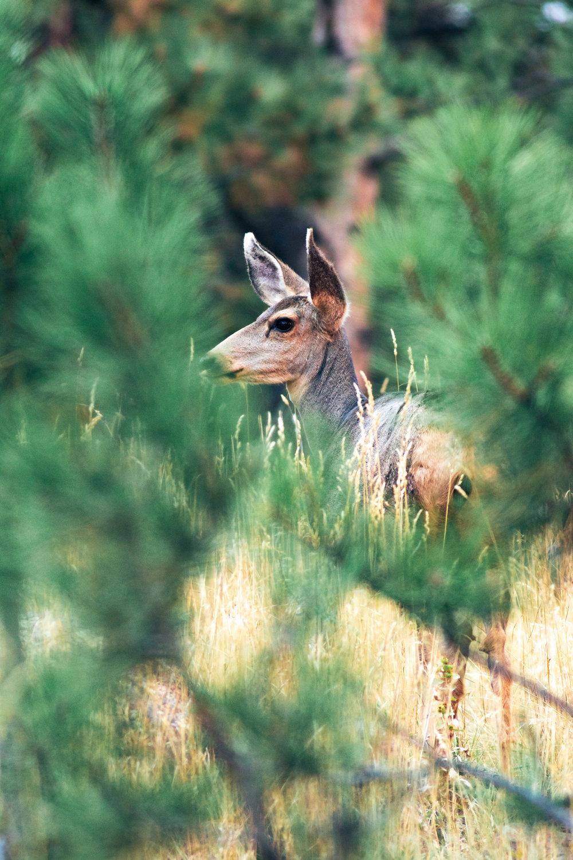 mule deer-8150.jpg