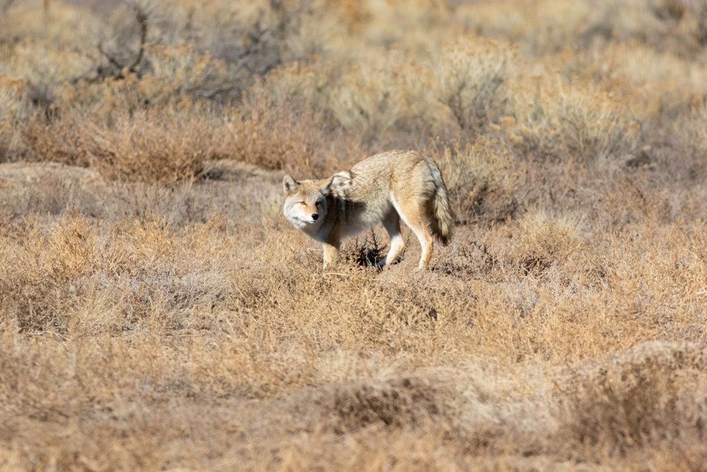 coyote-2055.jpg