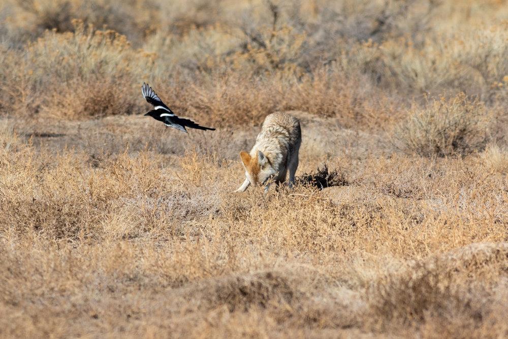 coyote-2081.jpg
