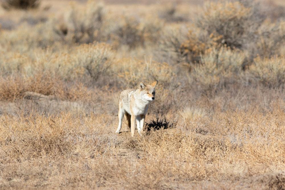 coyote-2099.jpg