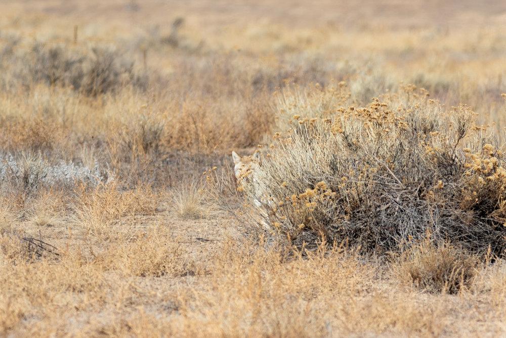 coyote-2157.jpg